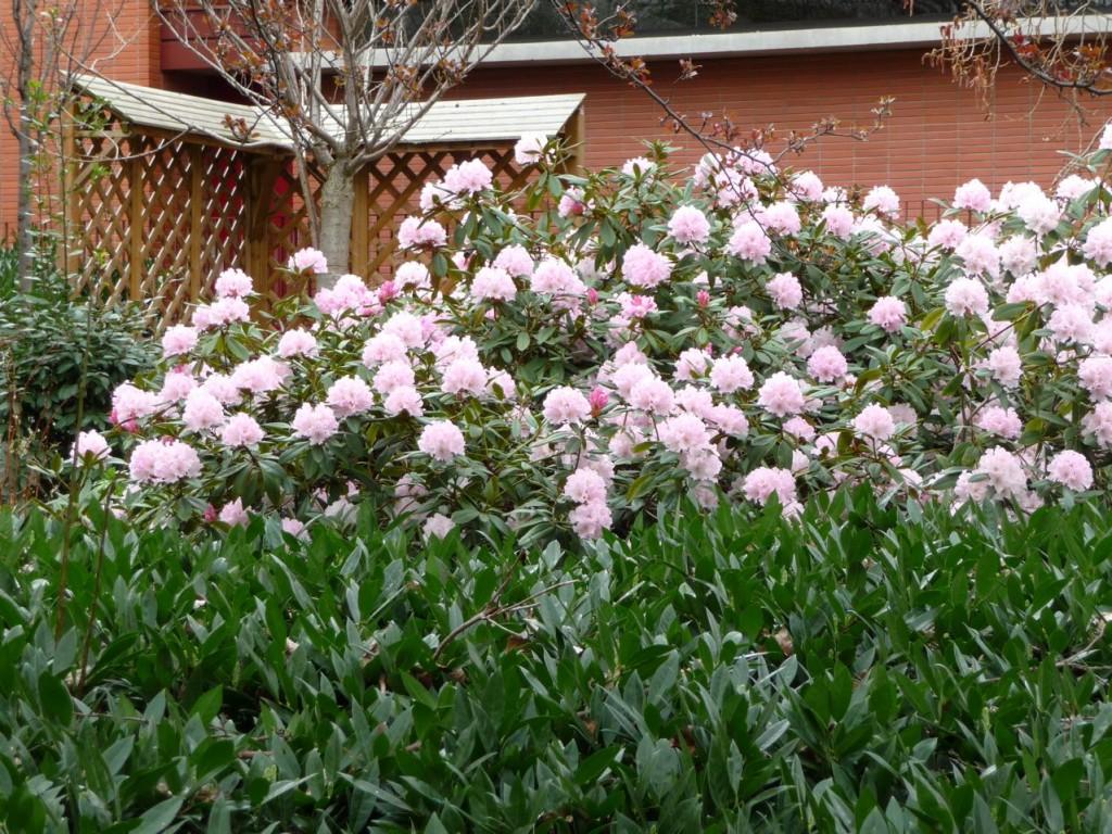 Arbuste de terre de bruyère à floraison printanière précoce