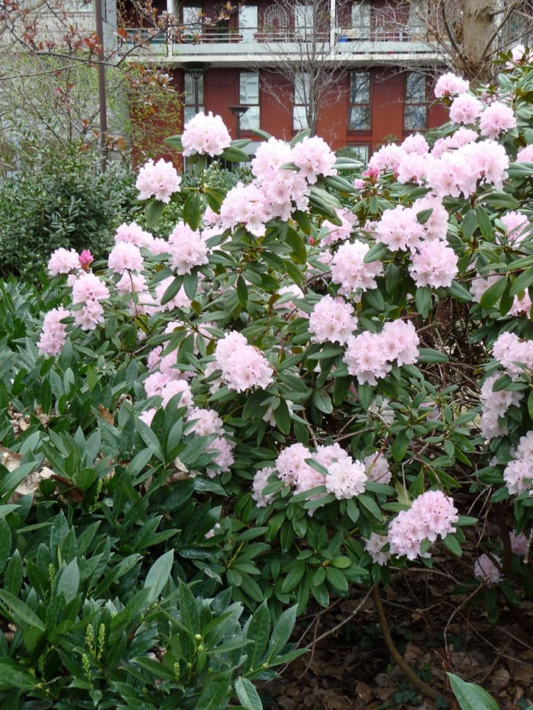 Arbuste de terre de bruyère à floraison printanière