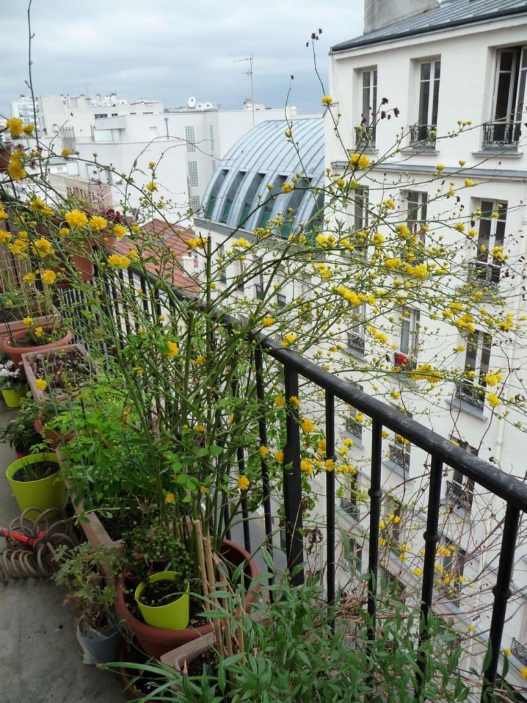Arbuste à floraison printanière précoce : Kerria japonica 'Pleniflora'