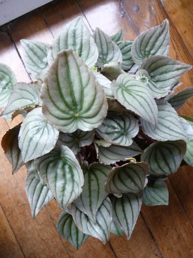 Plante d'intérieur à feuillage décoratif : Peperomia