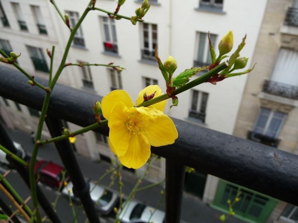 Arbuste à floraison printanière précoce : Kerria japonica 'Golden Guinea'