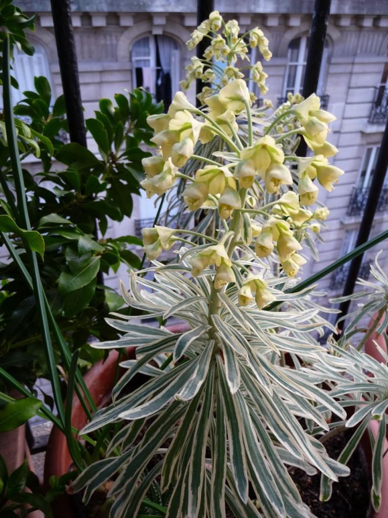 Plante vivace à feuillage persistant panaché et floraison précoce : Euphorbia characias ssp. wulfenii 'Variegata'