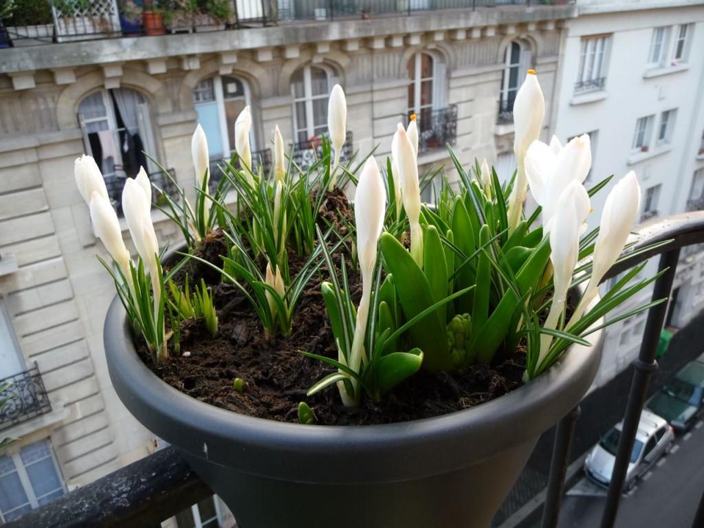 Bulbes à floraison printanière : crocus 'Jeanne d'Arc'