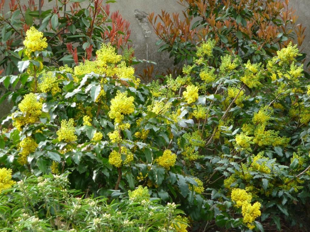 Arbuste à feuillage persistant et floraison précoce