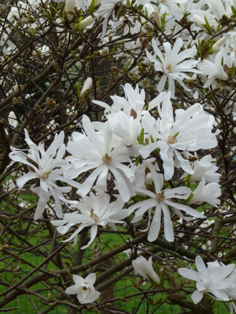 Arbre à floraison printanière : Magnolia stellata