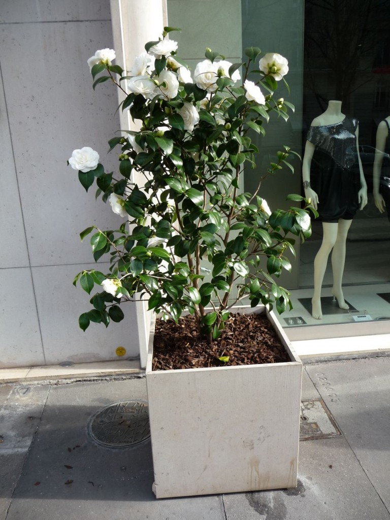 Arbuste de terre de bruyère : camélia 'Nuccio's Gem'
