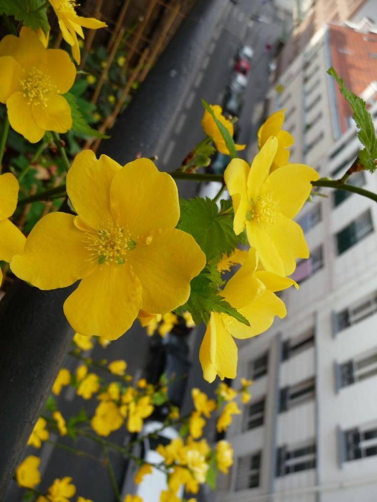 Arbuste à floraison printanière : corète du Japon à fleurs simples