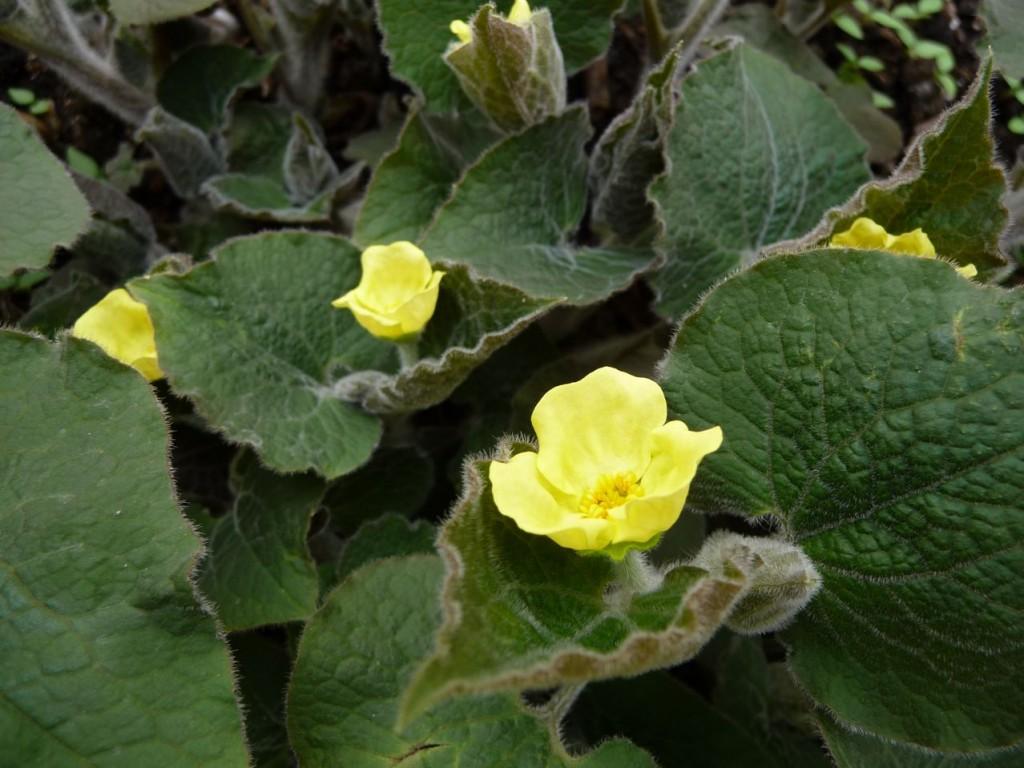 Plante vivace à floraison printanière précoce : Saruma henryi