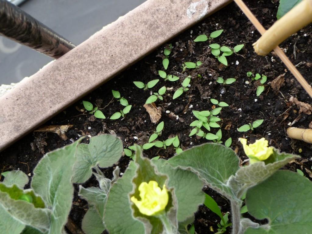 Semis spontanés dans une jardinière