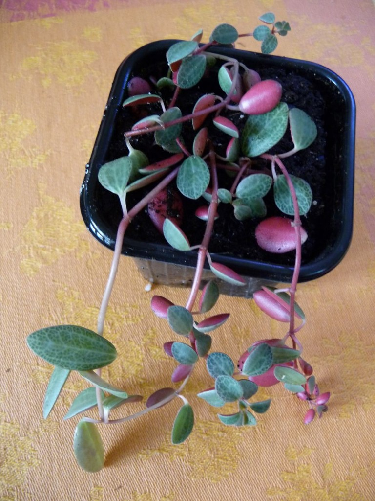 Plante non identifiée : Peperomia species