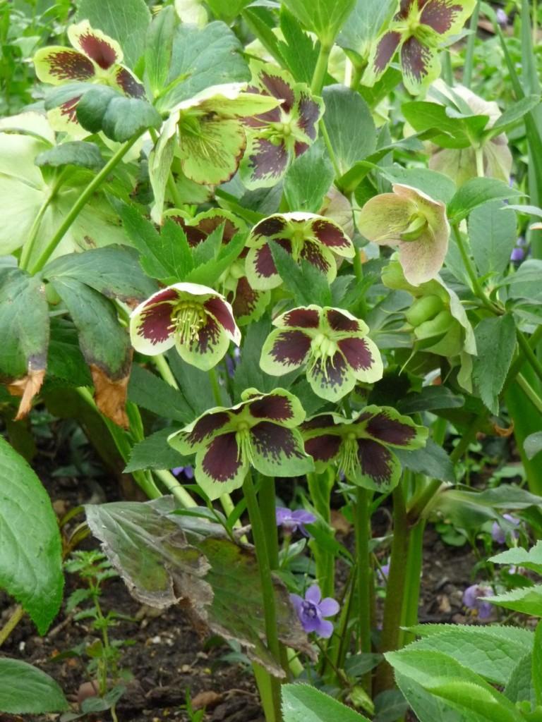 Floraison longue durée des hellébores hybrides