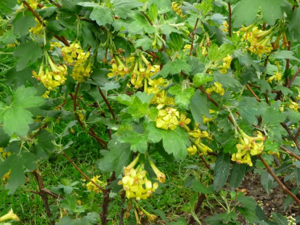 Arbuste à floraison printanière : Ribes odoratum 'Crandall'