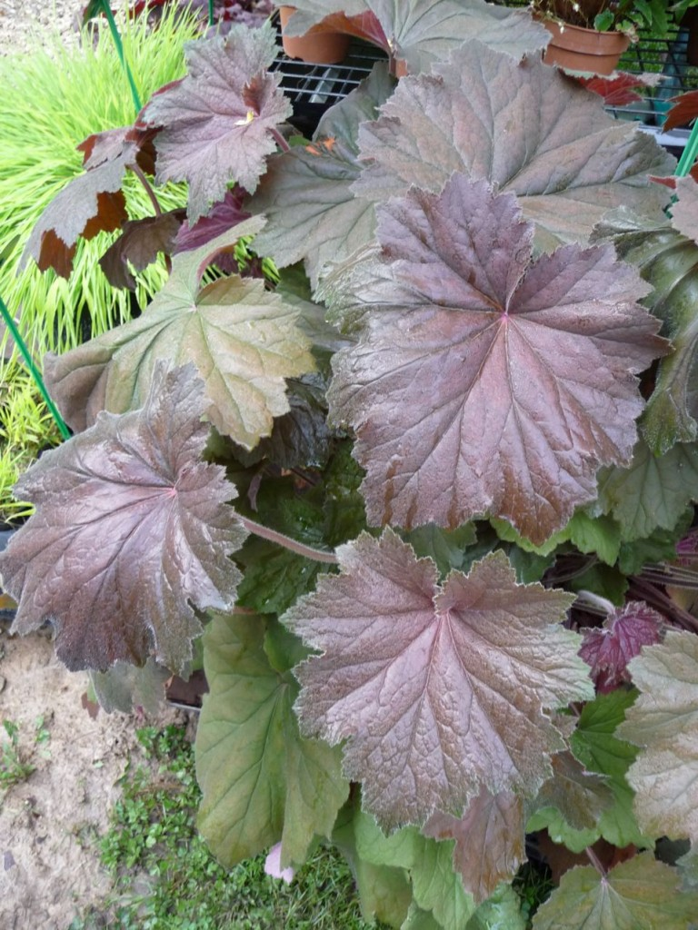 Heuchère à grand développement : Heuchera villosa 'Bronze Beauty'
