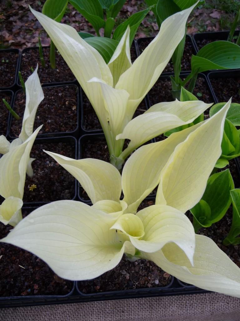 Hosta blanc : Hosta 'White Feather'