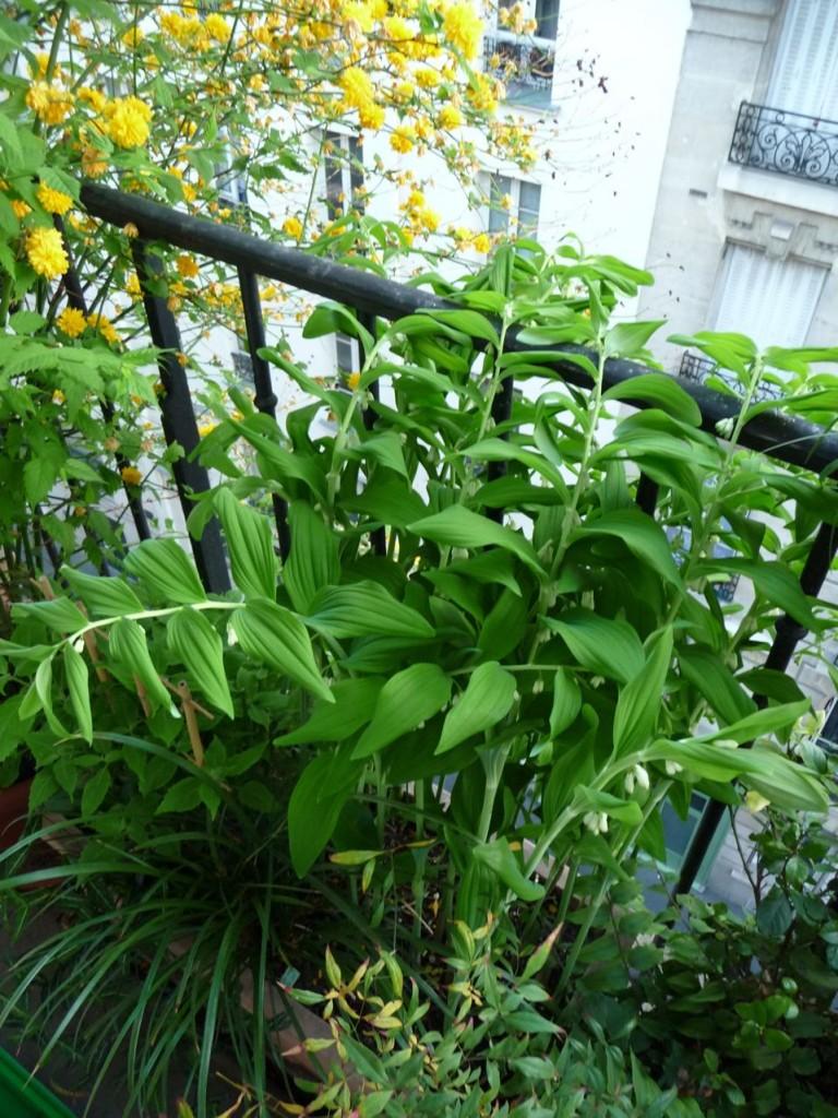 Plante vivace à grand développement : Polygonatum hybridum 'Weihenstephan'