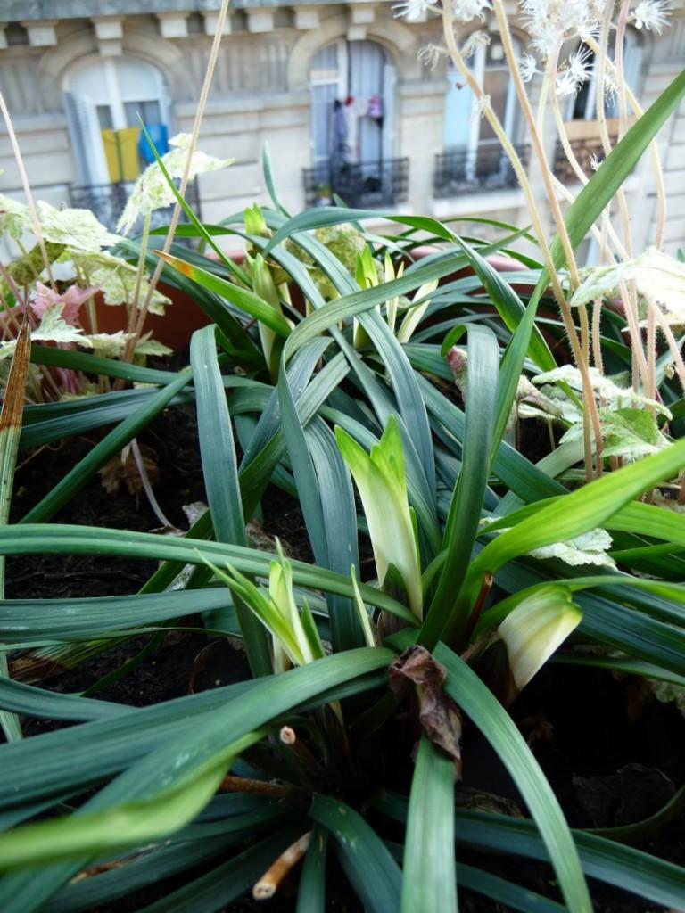 Départ de la végétation pour les liriopes 'Okina'