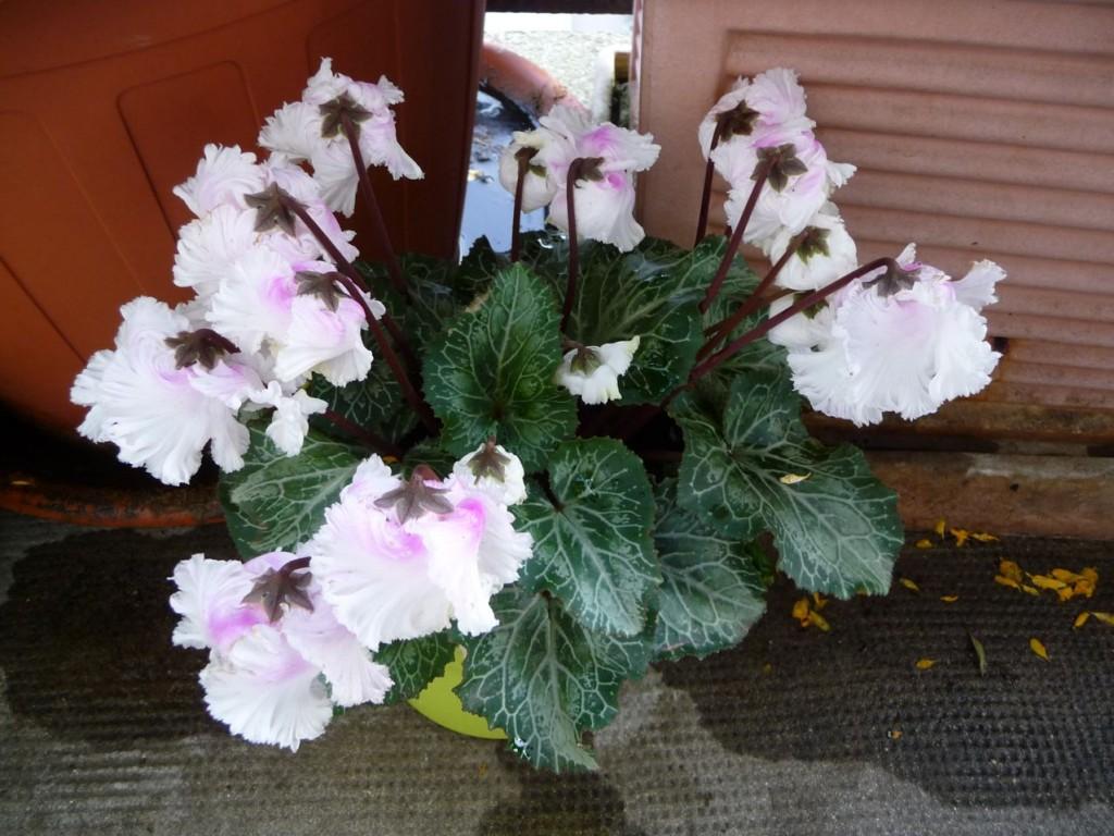 Potée fleurie : mini cyclamen à fleurs doubles, Bellissima