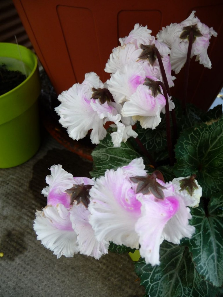 Potée fleurie : mini cyclamen Bellissima