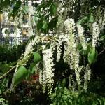 Arbre à floraison printanière : Prunus padus