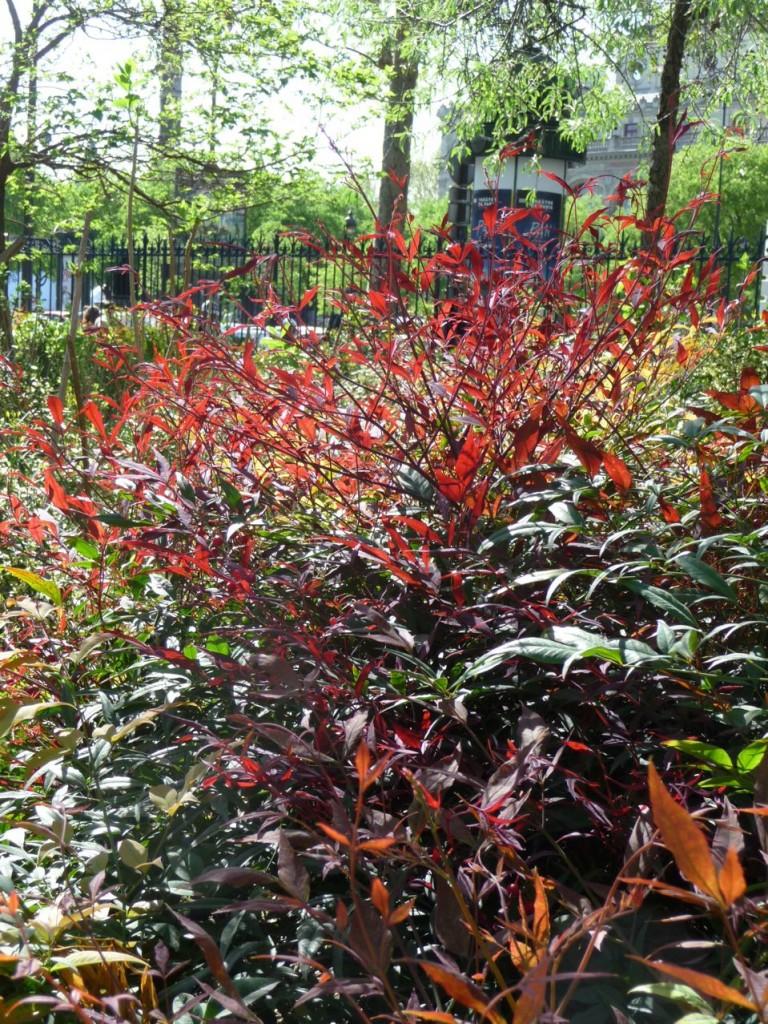 Arbuste à feuillage persistant : Nandina domestica