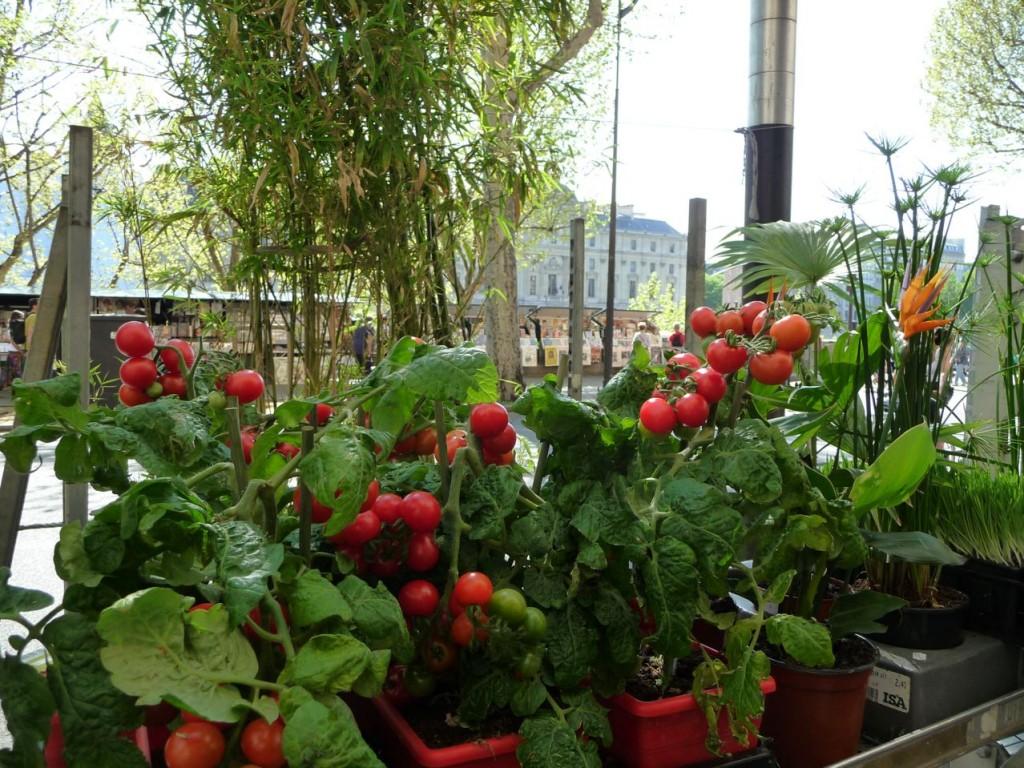 Plants forcés de tomates en conteneurs