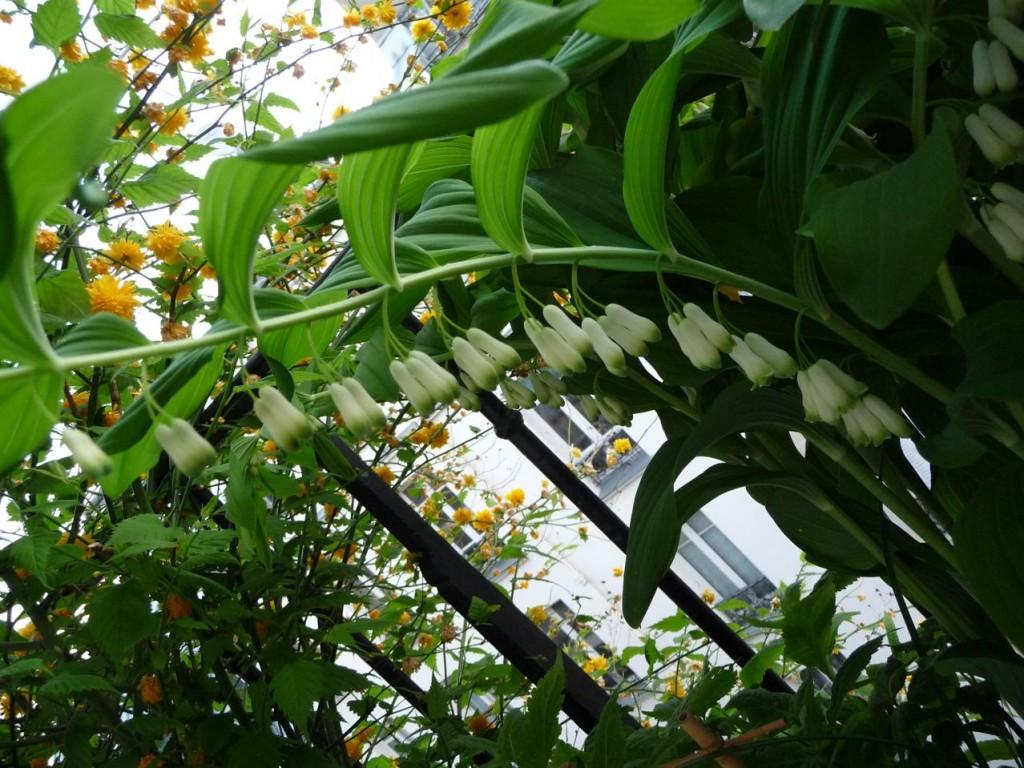 Plante vivace à floraison printanière : Polygonatum hybridum 'Weihenstephan'