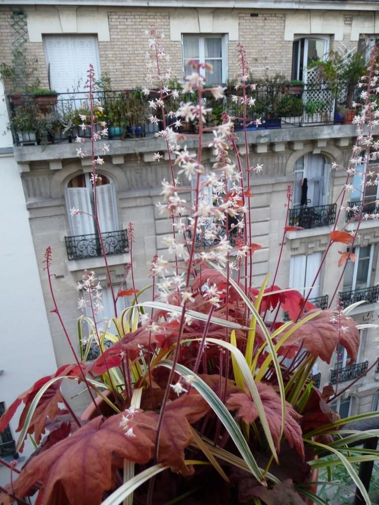Floraison et jeune feuillage d'Heucherella 'Sweet Tea'