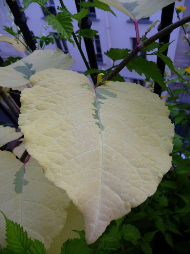Renouée panachée (Fallopia japonica 'Variegata')