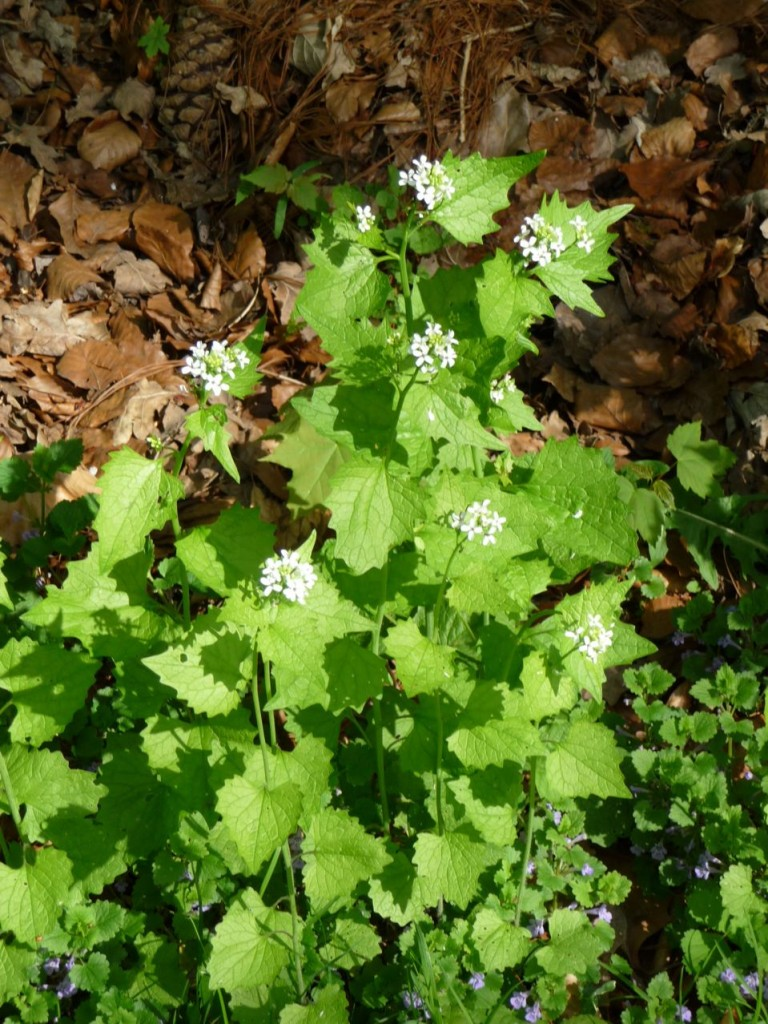 Mauvaise herbe, plante aromatique : Alliaria petiolata