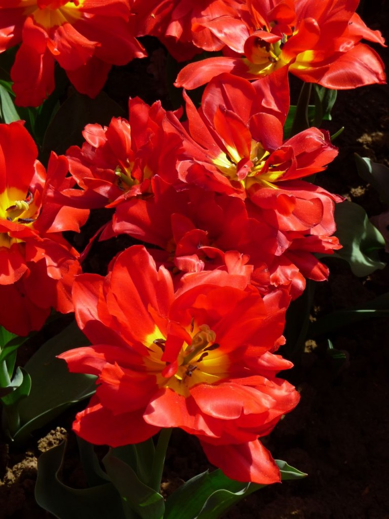 Tulipe double hâtive 'Abba'