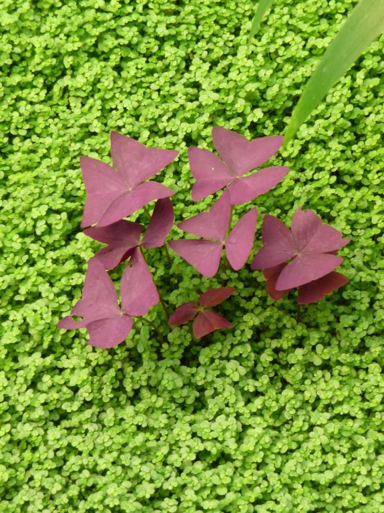Oxalis triangularis et Soleirolia soleirolii