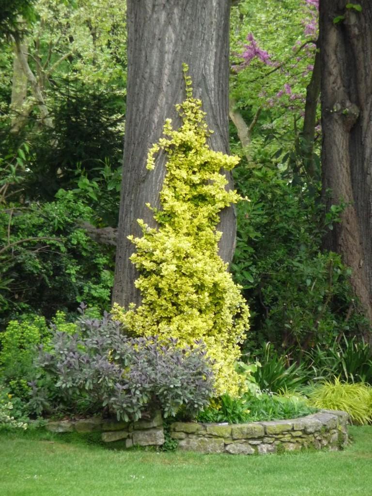 Arbuste et plante grimpante : Euonymus fortunei 'Emerald'n Gold'