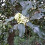 Floraison du houx au printemps