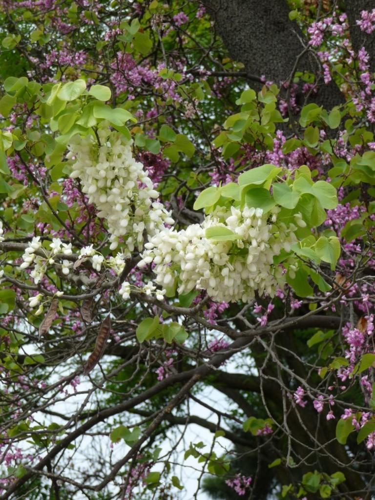 Arbre à floraison printanière : Cercis siliquastrum 'Alba'