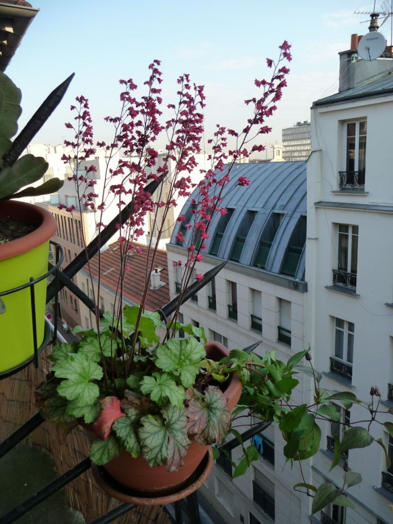 Heuchera 'Paris', feuillage argenté et floraison rose framboise