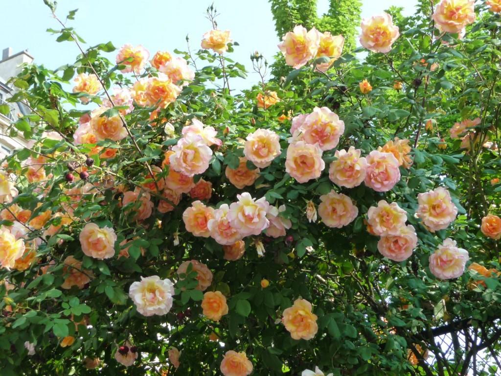 Floraison des rosiers en avril dans Paris