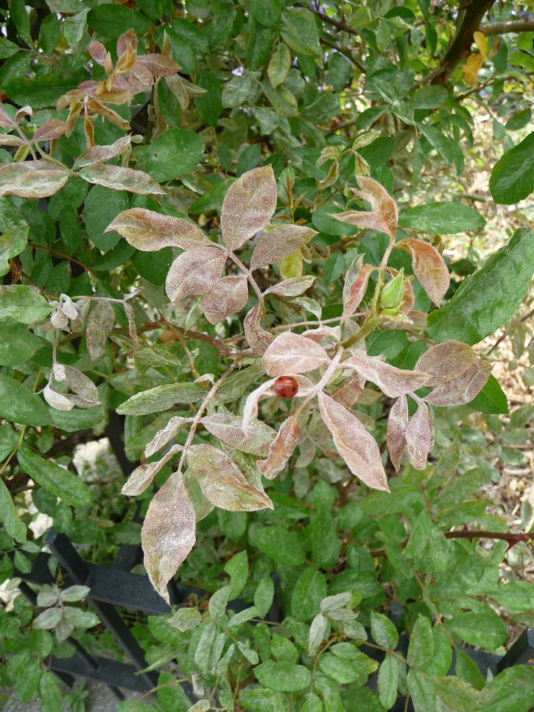 Blanc ou oïdium du rosier