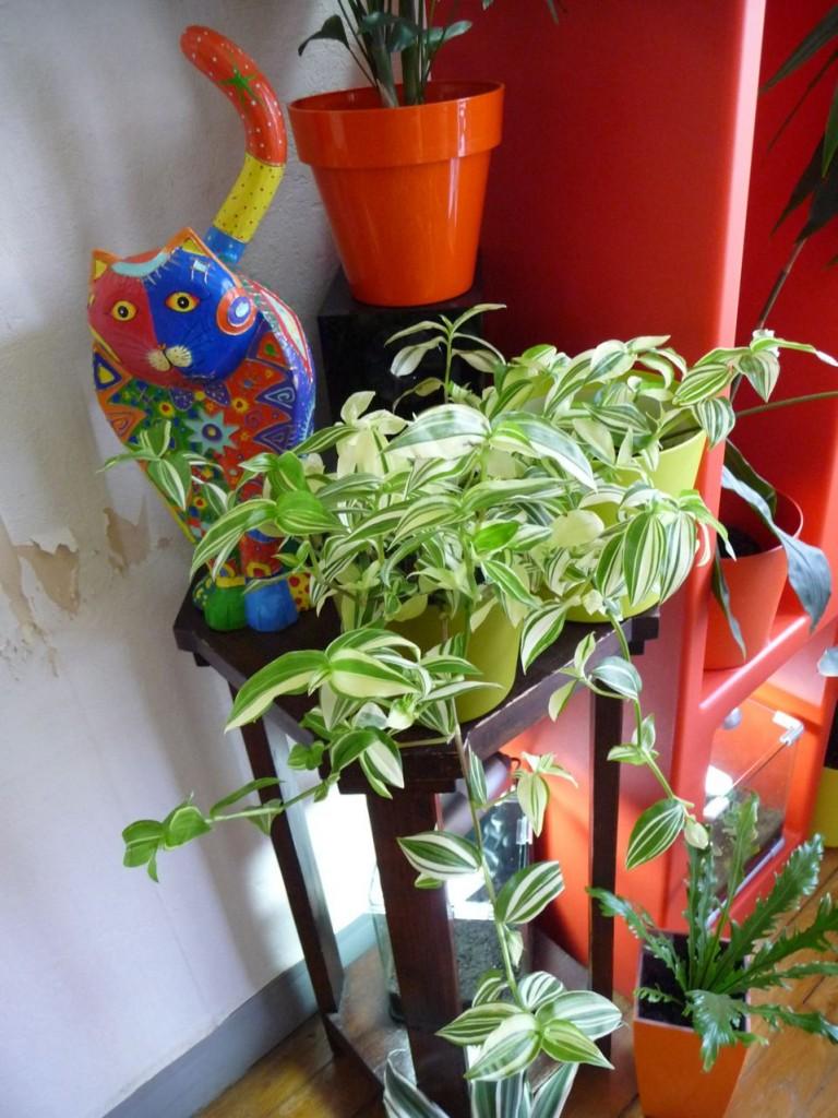 Plante d'intérieur facile à cultivée, la misère panachée