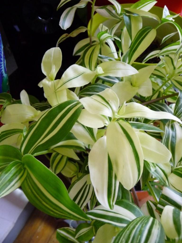 Plante d'intérieur facile, la misère panachée