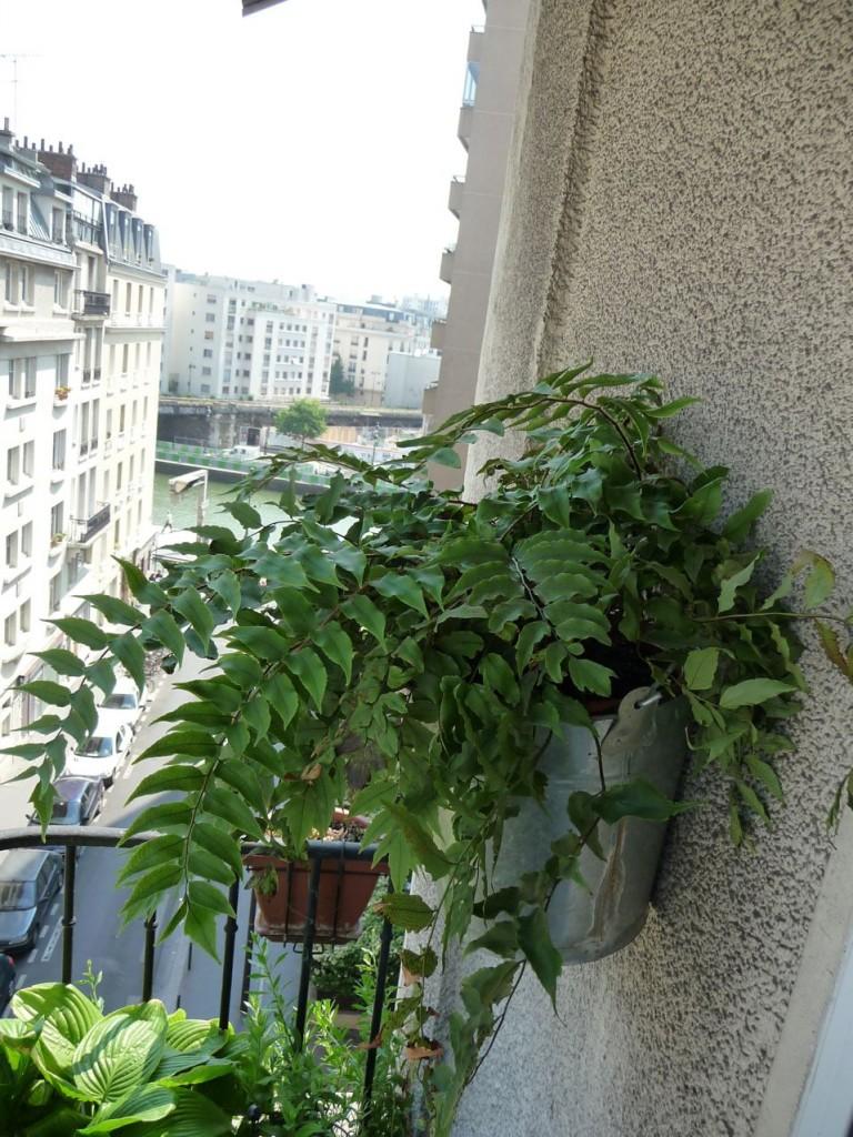 Fougère houx (Cyrtomium fortunei) en pot sur balcon