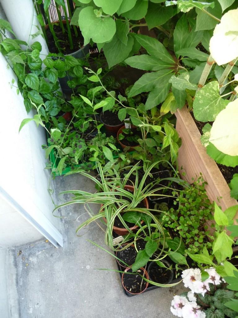 Semis, boutures et jeunes plants divers reipqués et rempotés sur mon balcon
