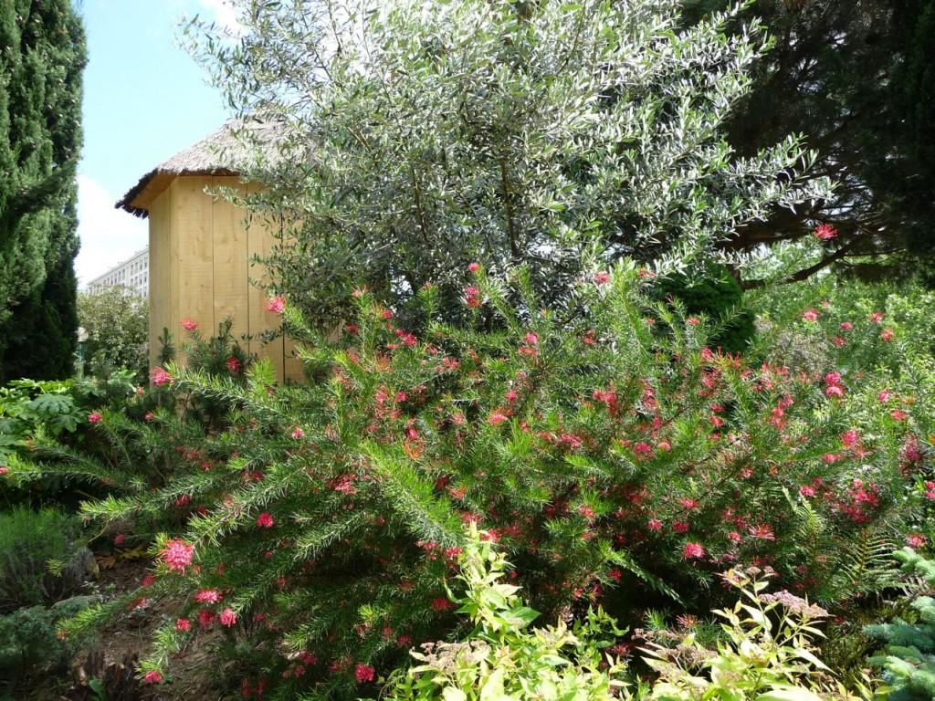 Grévilléa à feuilles de romarin (Grevillea rosmarinifolia)