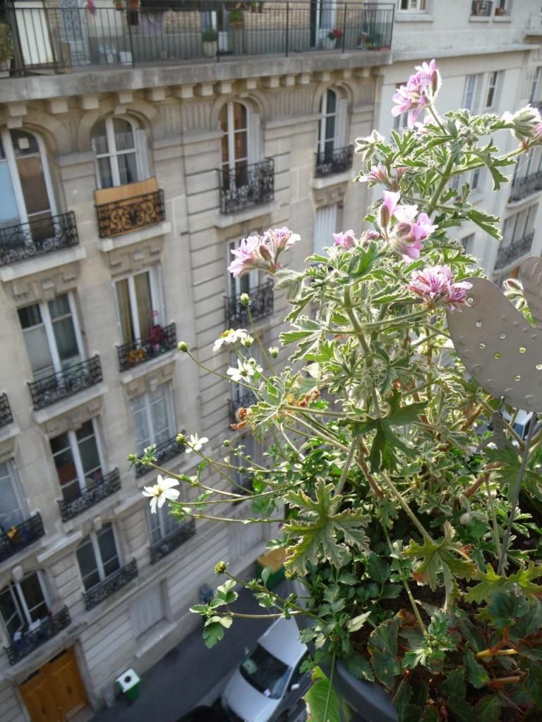 "Bidens blancs (Bidens ferulifolia 'Pirate's Pearl') et du géranium ""rosat"""