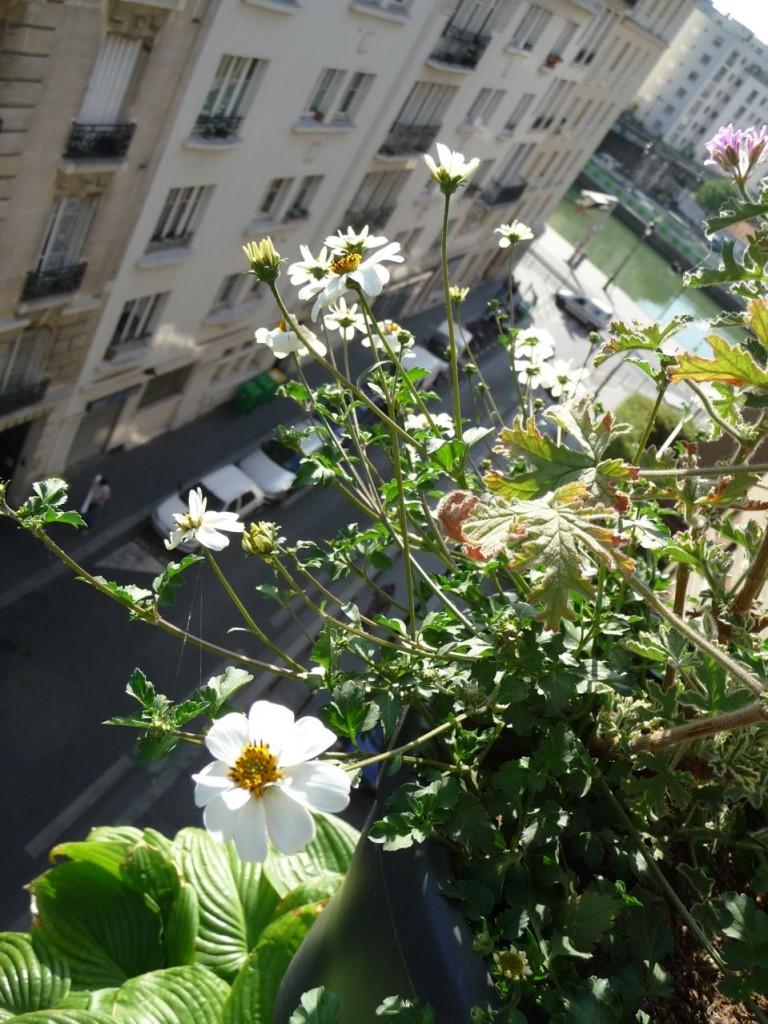 Bidens blancs (Bidens ferulifolia 'Pirate's Pearl')