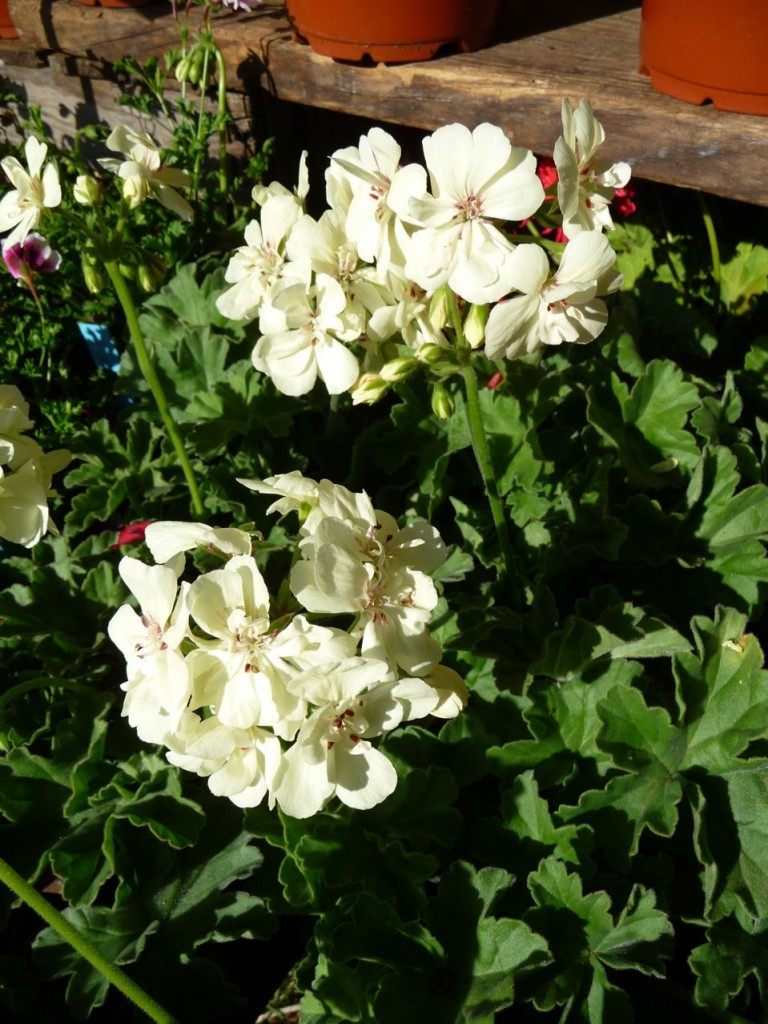 Pelargonium 'French Vanilla'