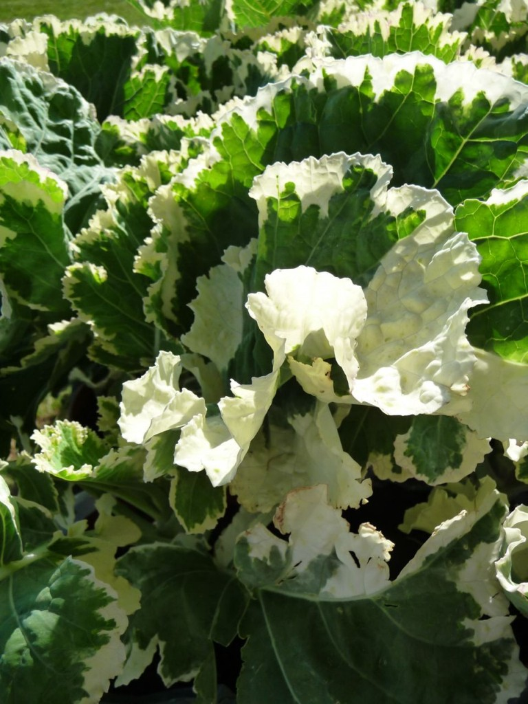 Chou Crème Chantilly (Brassica oleracea 'Albo-Variegata')