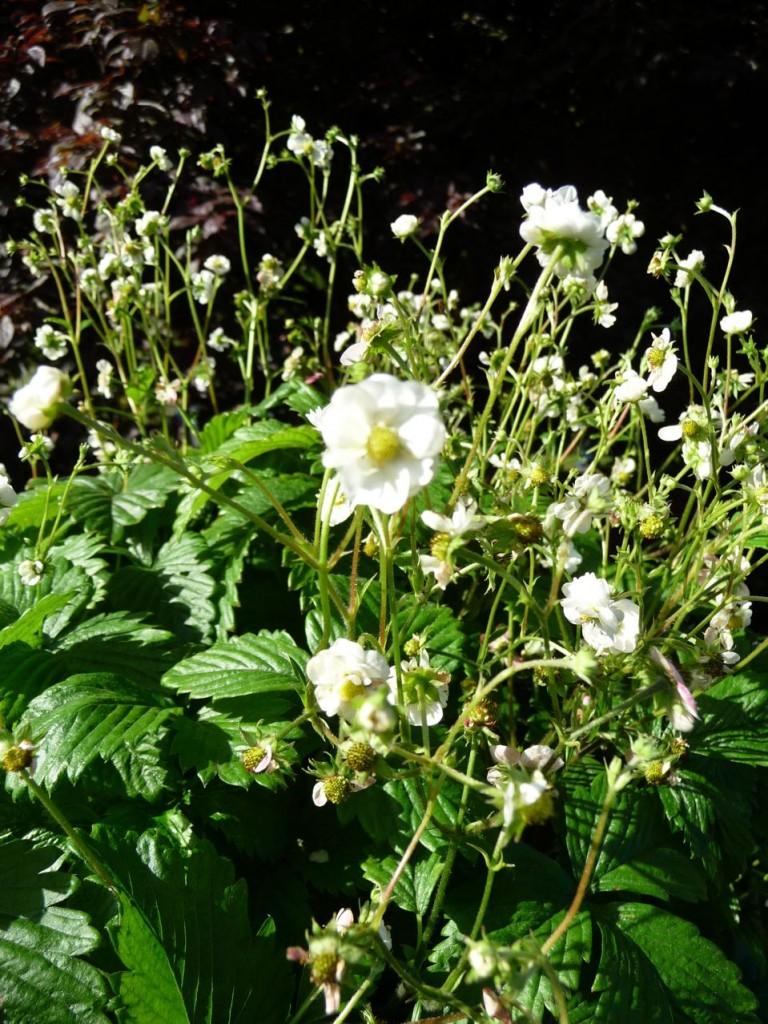 Fragaria vesca 'Flore Plena'