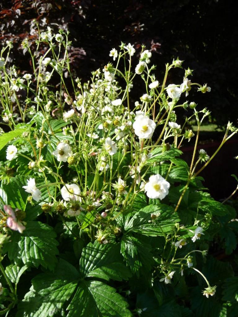 Fragaria vesca 'Flore Plena', Le Jardin du Morvan, Journées des Plantes de Courson (91)