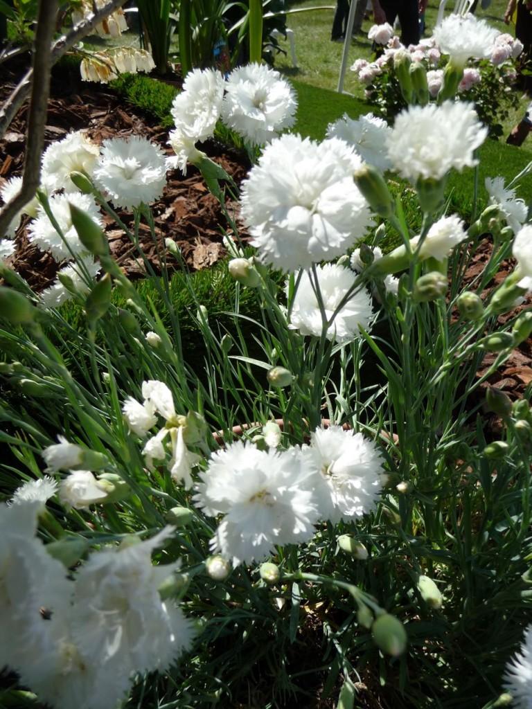 Dianthus 'Haytor White', Jardin d'Arclusaz, mai 2011, photo Alain Delavie