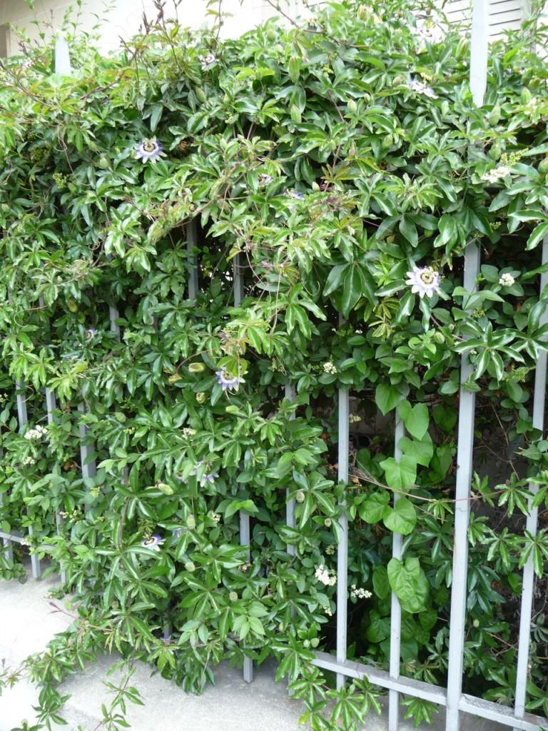 Fleur de la passion ou passiflore (Passiflora caerulea)